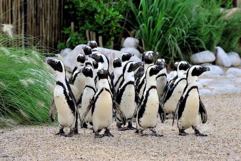 Il Bioparco di Roma accoglie i pinguini del Capo