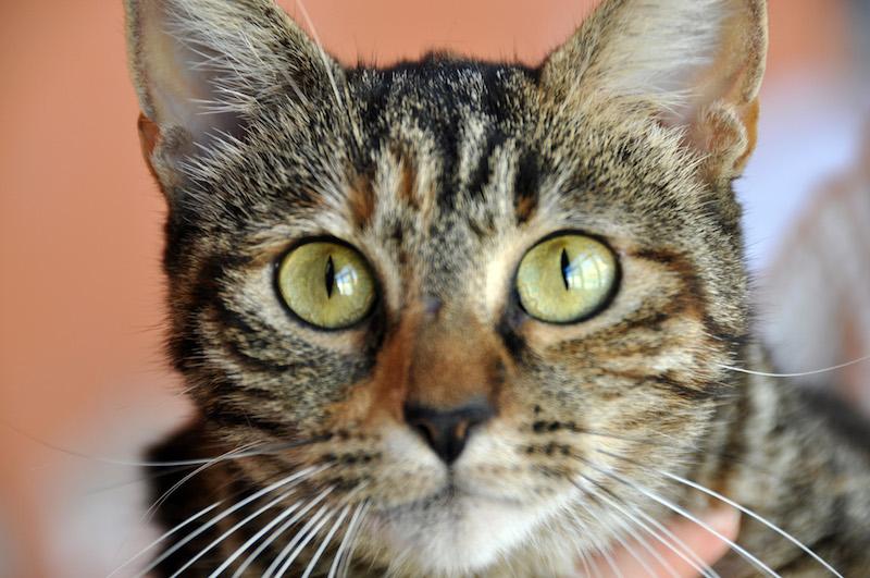 I gatti più belli del mondo, campioni del mondo, Best in Show al SuperCat Show 2019