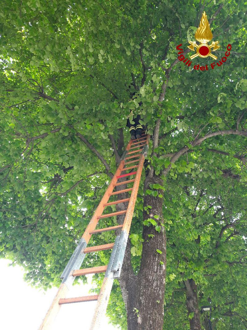 Vigili del Fuoco – Meduna di Livenza (TV), Avventura a lieto fine per un gatto arrampicatosi su un albero, alto 10 metri, in Via Verdi
