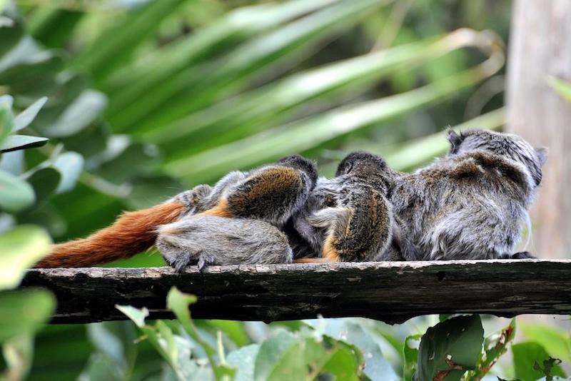 Al Bioparco di Roma sono nati due Tamarindi Imperatore, tra le scimmie più piccole e particolari al mondo